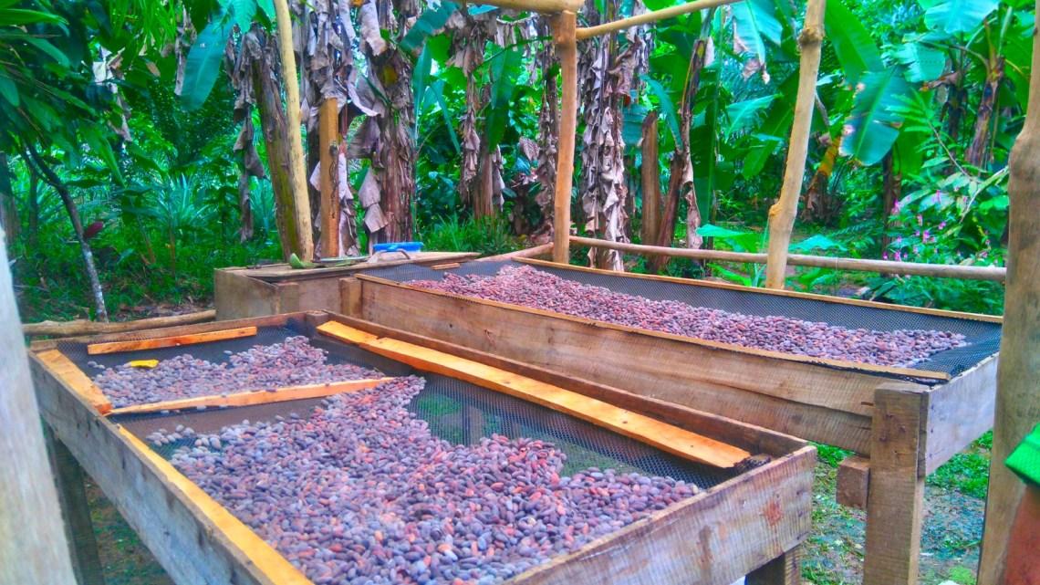 Semillas de Cacao en Rancho Raíces