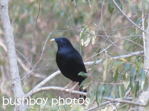 satin bowerbird_male_home_named_june 2016