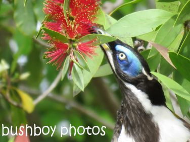 blue faced honeyeater_named_home_aug 2016