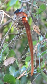 The adult Paradise Flycatcher at the nest.