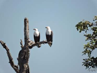 The fish eagles