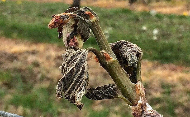 Vintage Report 2017; frost damage in English Vineyards and across Northern Europe. Worst frost in 20 years.