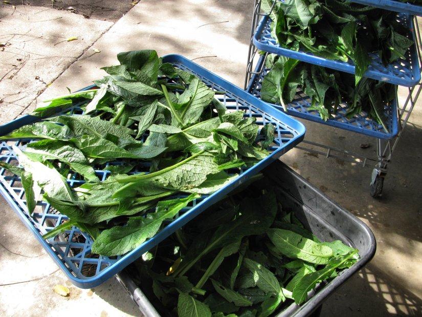 harvesting comfrey leaves