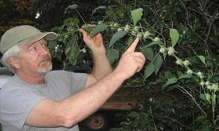 Environmentalists Are Bullish on Kenaf Paper