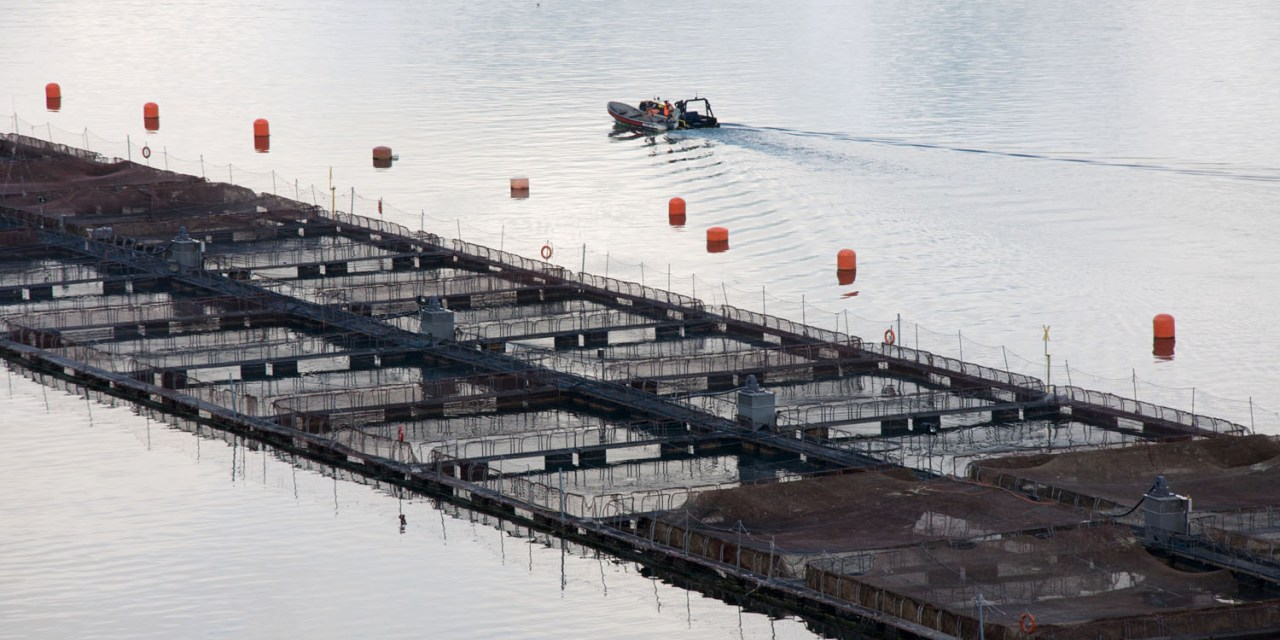 The Advantages of Wild Salmon vs. Farmed Salmon