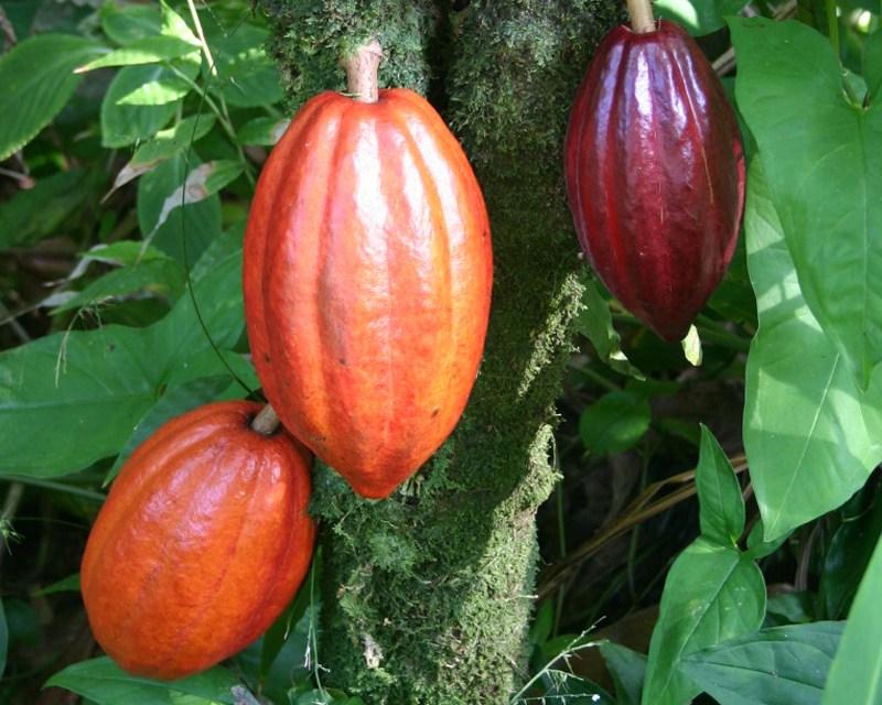 Cocoa Sustainability Initiative Garners State Dept. Award