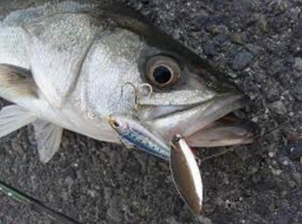 【シーバスをスピンテールジグで釣ろう】釣り方、アクション、ポイント、人気おすすめ【ランキング】