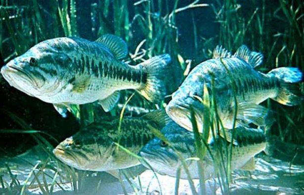 【バス釣り】【スポーニング(産卵)時期を狙ってデカバスを攻略(釣る)しよう】時期、水温、大潮、人気おすすめルアー【ランキング】