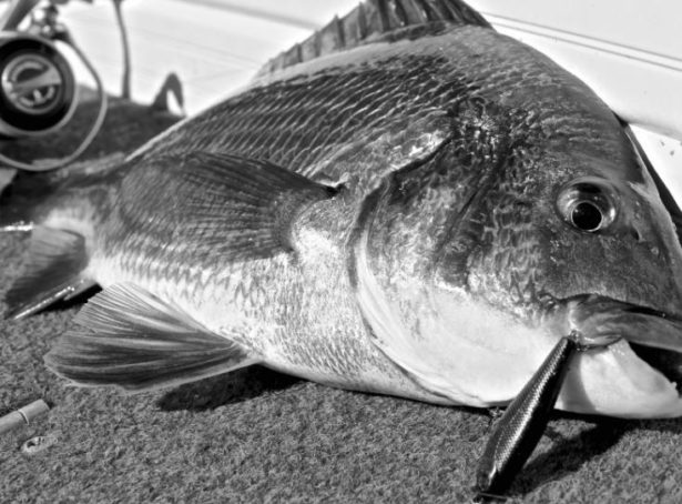 チヌ(クロダイ・黒鯛)をルアーで釣ろう(チニング)!釣り方(アクション)、季節(時期)、潮、時間、装備(タックル)、ポイント(場所)、おすすめのルアー【ランキング】