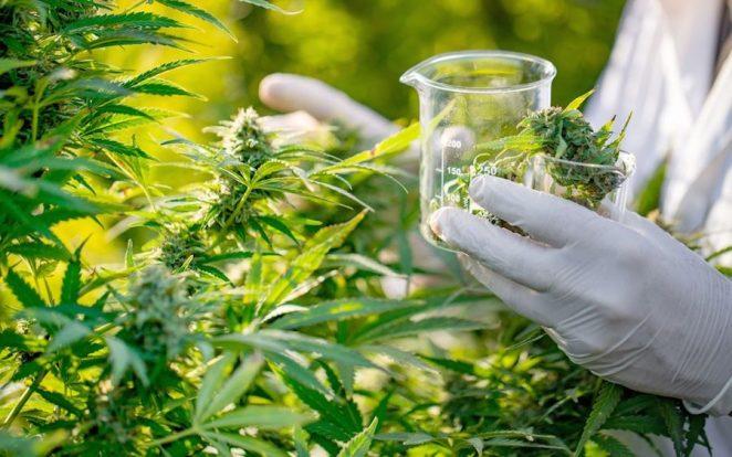 Is Nigeria Ready for Medical Marijuana - Businessday NG