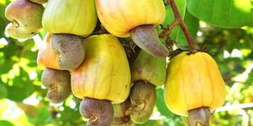 Cashew farmers, exporter's eye $350m earnings as 2020 harvest commences
