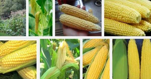 https://i0.wp.com/businessdiary.com.ph/wp-content/uploads/2013/09/sweet-corn.jpg