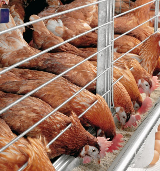FG Plans Relief Package for Poultry Industry