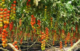 tomato farmers in Nigeria