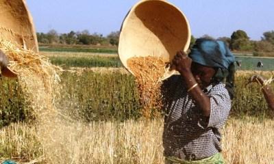 Wheat Development