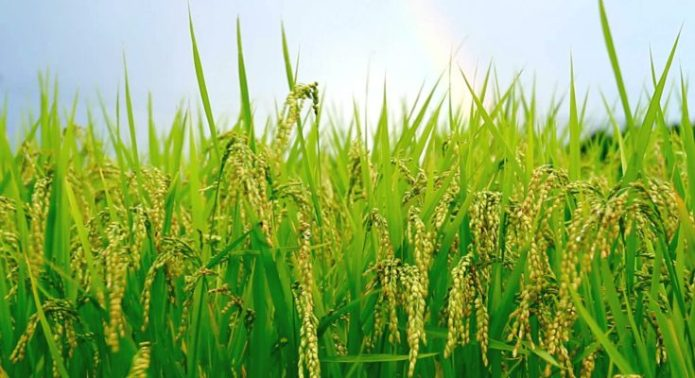 Image result for Nigeria To Produce 8 Million Tonnes a Of Rice In 2018 Wet Season