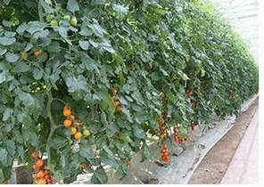 聖女小番茄種植方法|愛食網|聖女小番茄種植方法