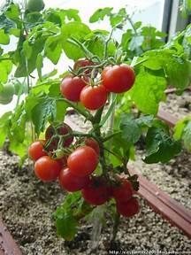 小番茄種植方法教學|愛食網|小番茄種植方法教學