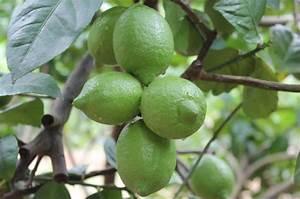 四季檸檬樹種植方法|愛食網|四季檸檬樹種植方法