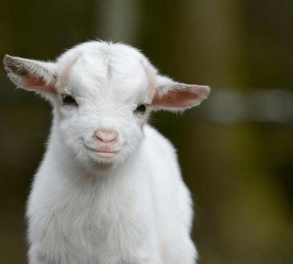 Sassy Goat Video
