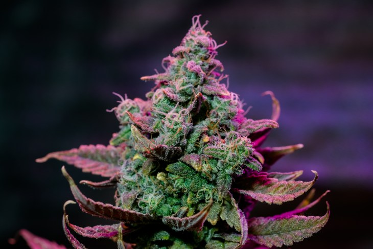 weed Live Cannabis Plant
