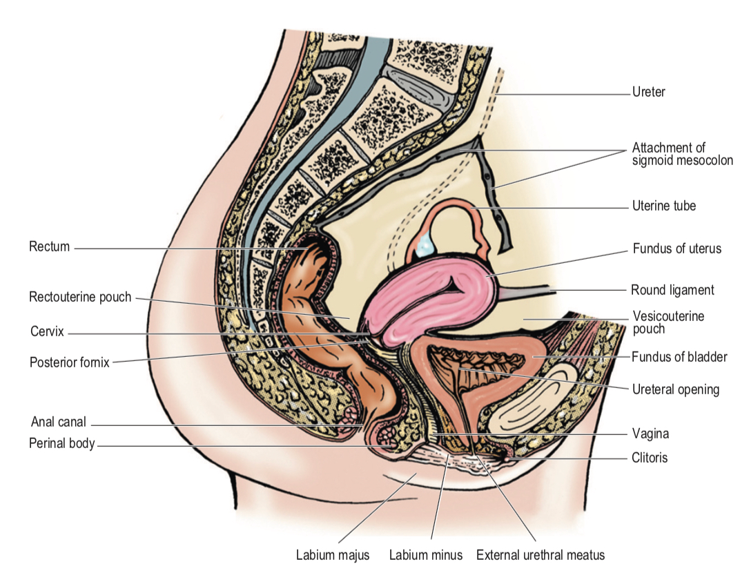 Female Urethra Busyat