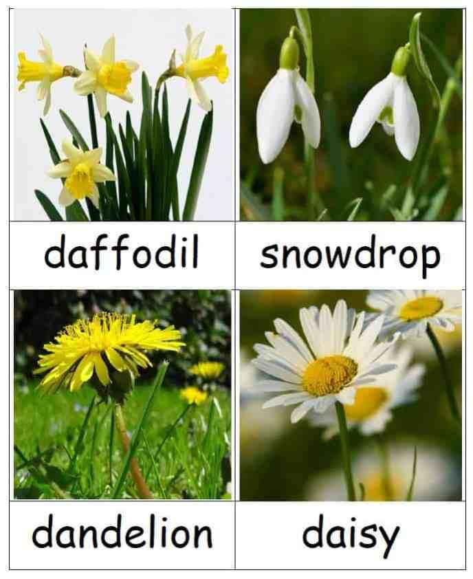 flowers - daffodil - snowdrop - dandelion - daisy - three part Montessori cards