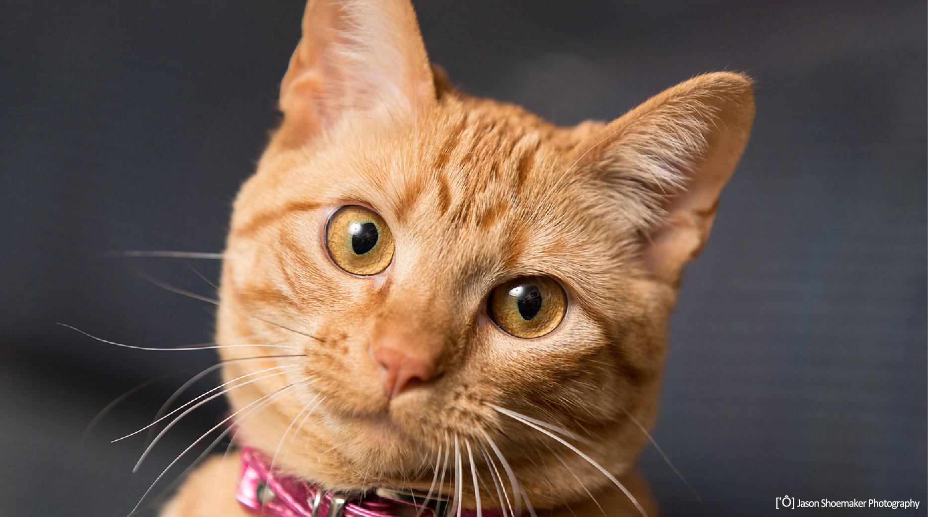 cat tally orange face close-up kansas city pet sitting cat sitting