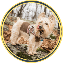newtie cairn terrier dog kansas city dog walking
