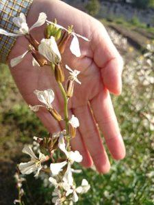 花が咲いたばかりの、柔らかい頃は、食用花として食べられるルッコラ