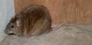 これはドブネズミ