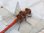 Common Darter dragonfly 2