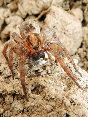 Wolf spider carrying eggs