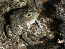 Glenborrodale toad