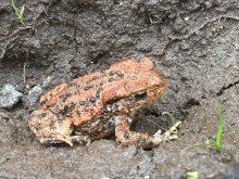 Orange Common Toad