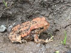 Orange Common Toad