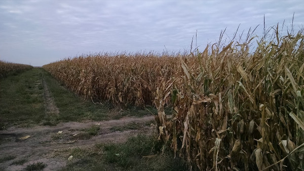 Nebraska is full of cornfields like this one.