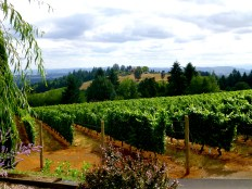 White Rose vineyards and view