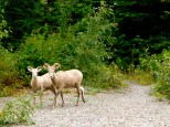 ::long horned sheep, at our campsite!::