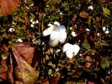 ::cotton::