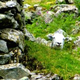 ::i love finding the hiding sheep::