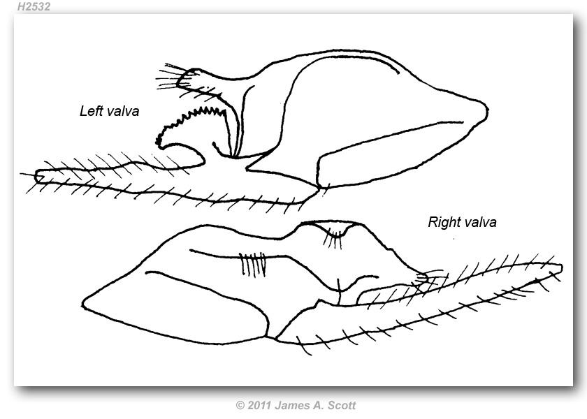 Erynnis m. meridianus (genitalia)