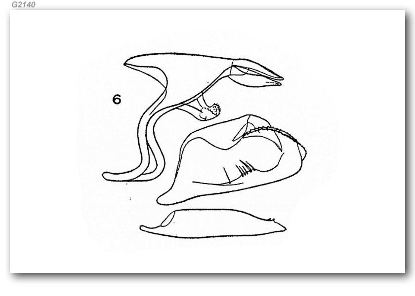 Pyrgus oileus (genitalia)