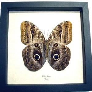 Caligo teucer Verso Owl Butterfly