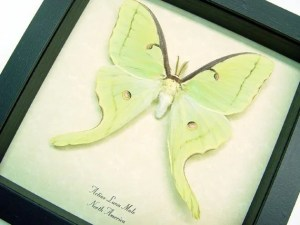 actias-luna-moth-framed-male