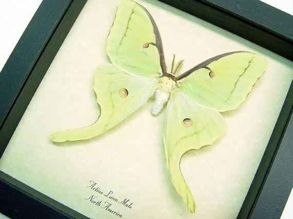 actias-luna-moth-framed-male