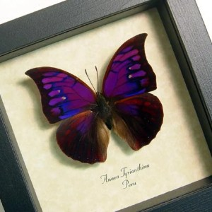 Purple Butterflies Insects