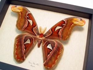 Attacus Atlas Male Large Atlas Moth
