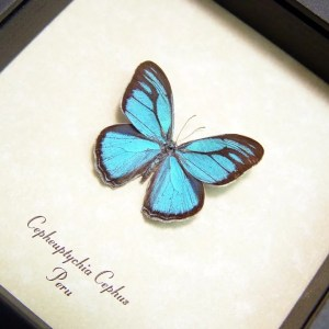 Cepheuptychia cephus Sky Blue Butterfly