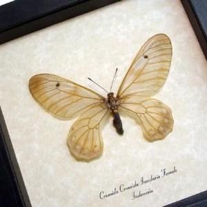 Cressida Cressida Insularis female Swallowtail